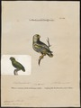 Conurus tuipara - 1700-1880 - Print - Iconographia Zoologica - Special Collections University of Amsterdam - UBA01 IZ18500201.tif