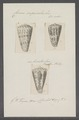 Conus imperialis - - Print - Iconographia Zoologica - Special Collections University of Amsterdam - UBAINV0274 086 01 0019.tif