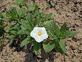 Convolvulus tricolor 2015-07-15 4412.jpg