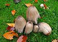 Coprinus atramentarius - Flickr - gailhampshire.jpg