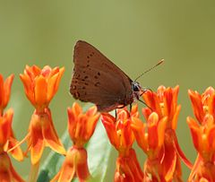 Coral Hairstreak Megan McCarty25.jpg