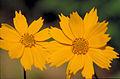 Coreopsis auriculata FWS-1.jpg