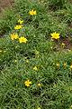 Coreopsis tinctoria - Botanischer Garten Mainz IMG 5678.JPG