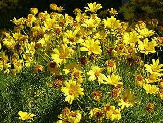 <i>Coreopsis gigantea</i> species of plant