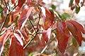 Cornus florida Plena 0zz.jpg