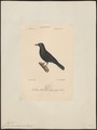 Corvus monedula - 1842-1848 - Print - Iconographia Zoologica - Special Collections University of Amsterdam - UBA01 IZ15700261.tif