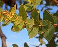 Corymbia setosa shoot.jpg