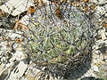 Coryphantha cornifera (5780771568).jpg