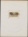 Coturnix diemenensis - 1820-1863 - Print - Iconographia Zoologica - Special Collections University of Amsterdam - UBA01 IZ17100133.tif