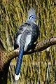 Coua cristata (Hauben-Seidenkuckuck - Crested Coua) - Weltvogelpark Walsrode 2013-03—130718 0195.jpg