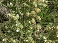 Coulter horseweed, Laennecia coulteri (16557800695).jpg