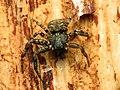 Crab Spider (33923117774).jpg