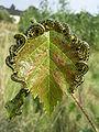 Craesus septentrionalis1.jpg