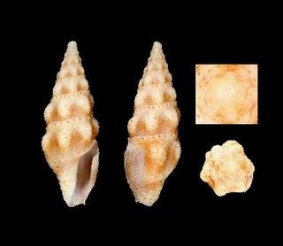 <i>Crassispira pulchrepunctata</i> species of mollusc