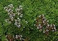 Crassula setulosa B.jpg