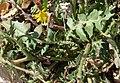 Crepis foetida leaf (03).jpg
