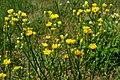 Crepis setosa inflorescence (17).jpg