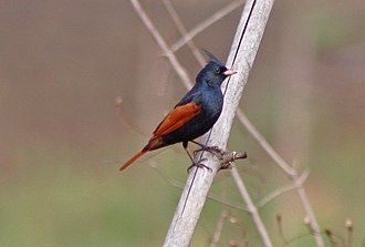 Crested bunting - Image: Crested Bunting Melophus lathami Melghat 1