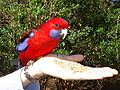 Crimson Rosella (Platycercus elegans)5 - eating from hand.jpg