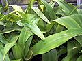 Crinum kunthianum 002.jpg