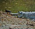 Croc Bird.jpg
