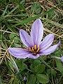 Crocus sativus RHu 2020 01.JPG
