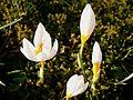 Crocus sieberi Bowles White5.jpg