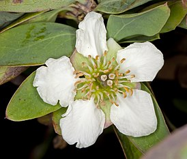 Crossosoma californicum (California rockflower) (5629409394).jpg