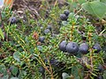 Crow Berry (2755382434).jpg