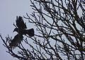 Crow J1.jpg