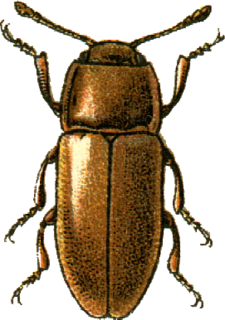 Xenoscelinae subfamily of insects