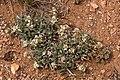 Cryptantha cinerea - Flickr - aspidoscelis (6).jpg