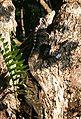 Ctenosaura similis 2.jpg