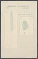Cupulites bowdichii - - Print - Iconographia Zoologica - Special Collections University of Amsterdam - UBAINV0274 110 14 0011.tif