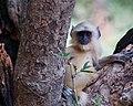 Cute langur youngster (48945952011).jpg
