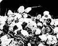 Cyanobacteria wrapped around sand grains (90x magnification) (8094886300).jpg