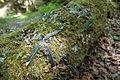 Cyanocitta cristata predation.jpg