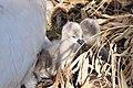 Cygnus olor (Küken) - Arboretum 2011-05-28 18-13-15.JPG