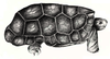Domed Rodrigues Giant Tortoise