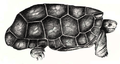 Cylindraspis peltastes 1770.png