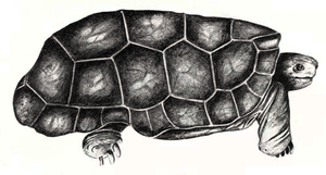 Domed Rodrigues giant tortoise - Illustration from circa 1770 by Jossigny