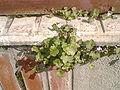 Cymbalaria muralis.jpg