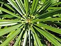 Cyperus involucratus - J. C. Raulston Arboretum - DSC06201.JPG