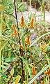 Cyperus malaccensis.jpg