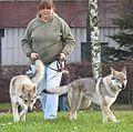 Czechoslovakian Wolfdog in Riga 2.JPG
