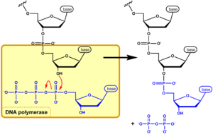 Nucleoside triphosphate - In nucleic acid synthesis, the 3' OH of a growing chain of nucleotides attacks the α-phosphate on the next NTP to be incorporated (blue), resulting in a phosphodiester linkage and the release of pyrophosphate (PPi). This figure shows DNA synthesis, but RNA synthesis occurs through the same mechanism.