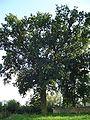 Dab bial oak.jpg