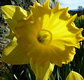 Daffodil (5523290659).jpg