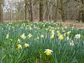 Daffodils in the grounds of The Lodge, Sandy - geograph.org.uk - 388888.jpg