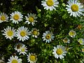 Daisies on green.jpg